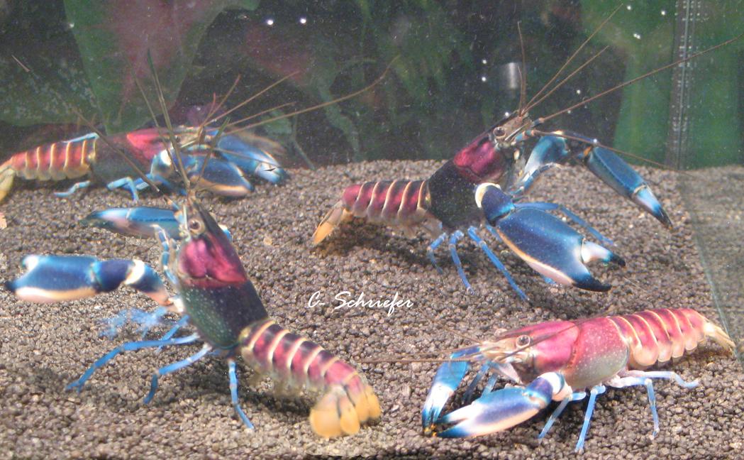 cherax tenuimanus Irian-Jaya-viele-Claas